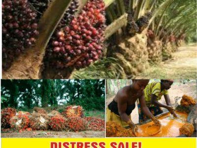 115 Acres of Oil Palm Farm for sale