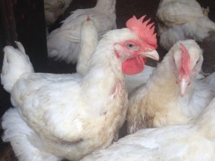 Adult Broiler for sale