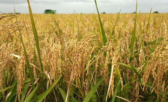 Rice farmers to get single digit loans from CBN