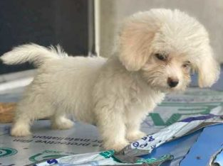 10 weeks Lhasa male puppy for sale