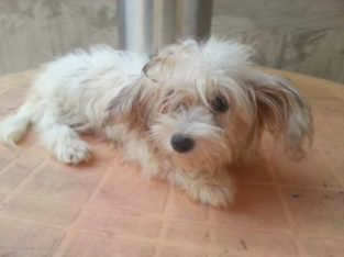 Cute/Pure /Full breed lhasa apos Dog dog/puppy For Sale Going For N55,000 Contact:08145445191