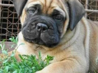 Cute/Pure /Full breed bull mastiff dog/puppy For Sale Going For N55,000 Contact:08145445191