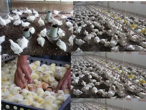 Day old Rosambro Broilers for sale