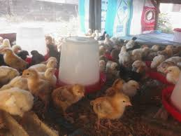 A day old broilers for sale we deliver nation wide
