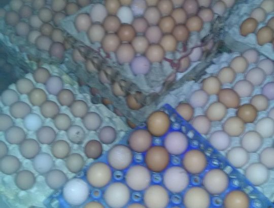 Fresh eggs and day old chicks for sale