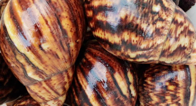 Jumbo and table size snails