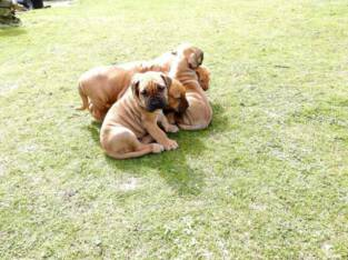 Cute and pure Boerboel puppy/dogs going for N55,000 call 08145445191