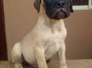 Cute /Pure/full breed Bull Mastiff dogs/Puppy for sale Call:08145445191