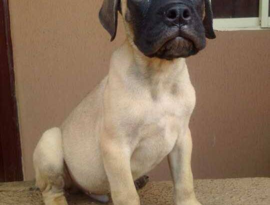 Cute /Pure/full breed Bull Mastiff dogs/Puppy for sale Call:08145445191