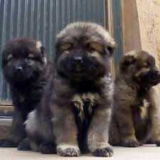 Cute /Pure/full breed German Shepherd dogs/Puppy for sale Call:08145445191