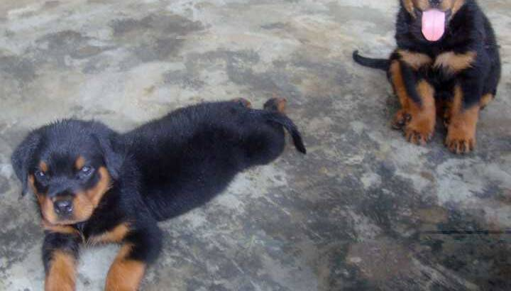 Cute /Pure/full breed Rottweiler dogs/Puppy for sale Call:08145445191