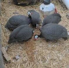Foreign guinea fowl for sell
