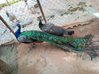 Peacock for sale