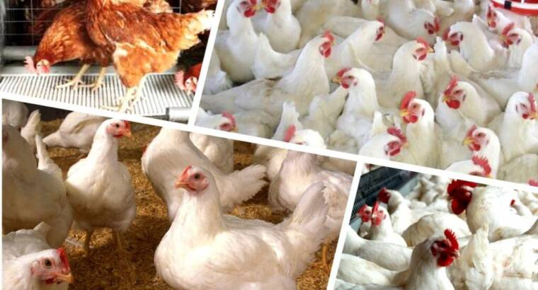 Day old broilers and layers for sale call us now