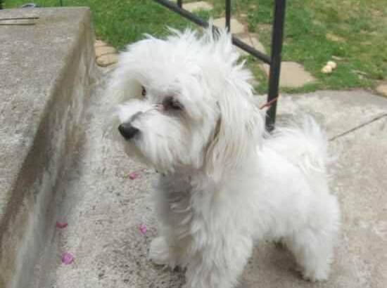 Pure Lhasa Apso Dog/puppy For Sale At N50, 000 Contact: 08104035288