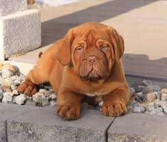 Pure French Mastiff Dog/puppy For Sale At N50, 000 Contact: 08104035288