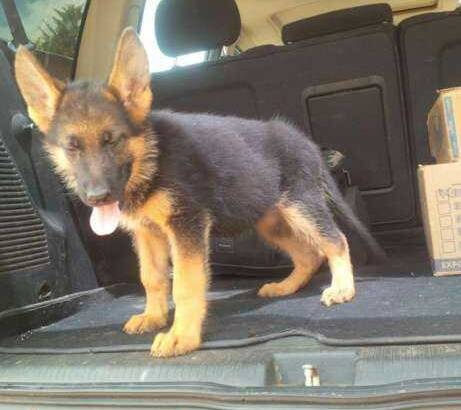Pure German Shepherd Dog/puppy For Sale At N50, 000 Contact: 08104035288