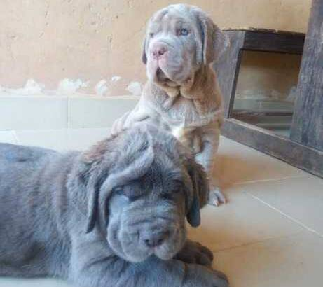 Pure Neapolitan Mastiff Dog/puppy For Sale At N50, 000 Contact: 08104035288