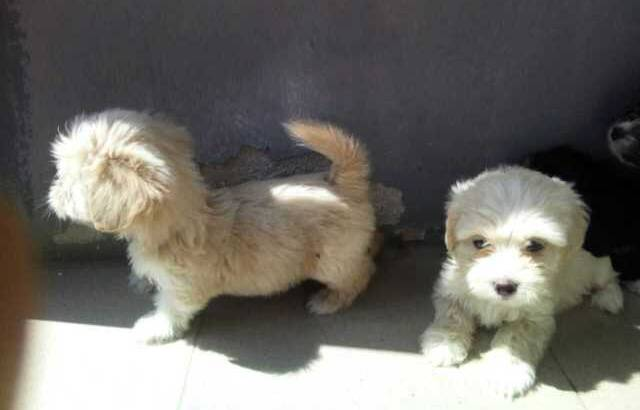 Pure Coton De Tulear Dog/puppy For Sale At N50, 000 Contact: 08104035288