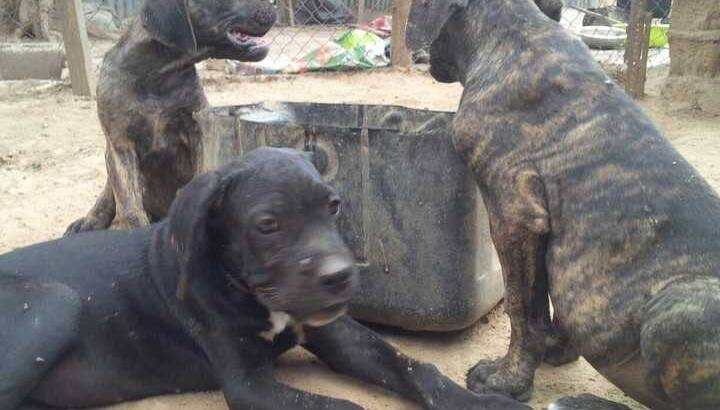 Pure Cane Corso Dog/puppy For Sale At N50, 000 Contact: 08104035288